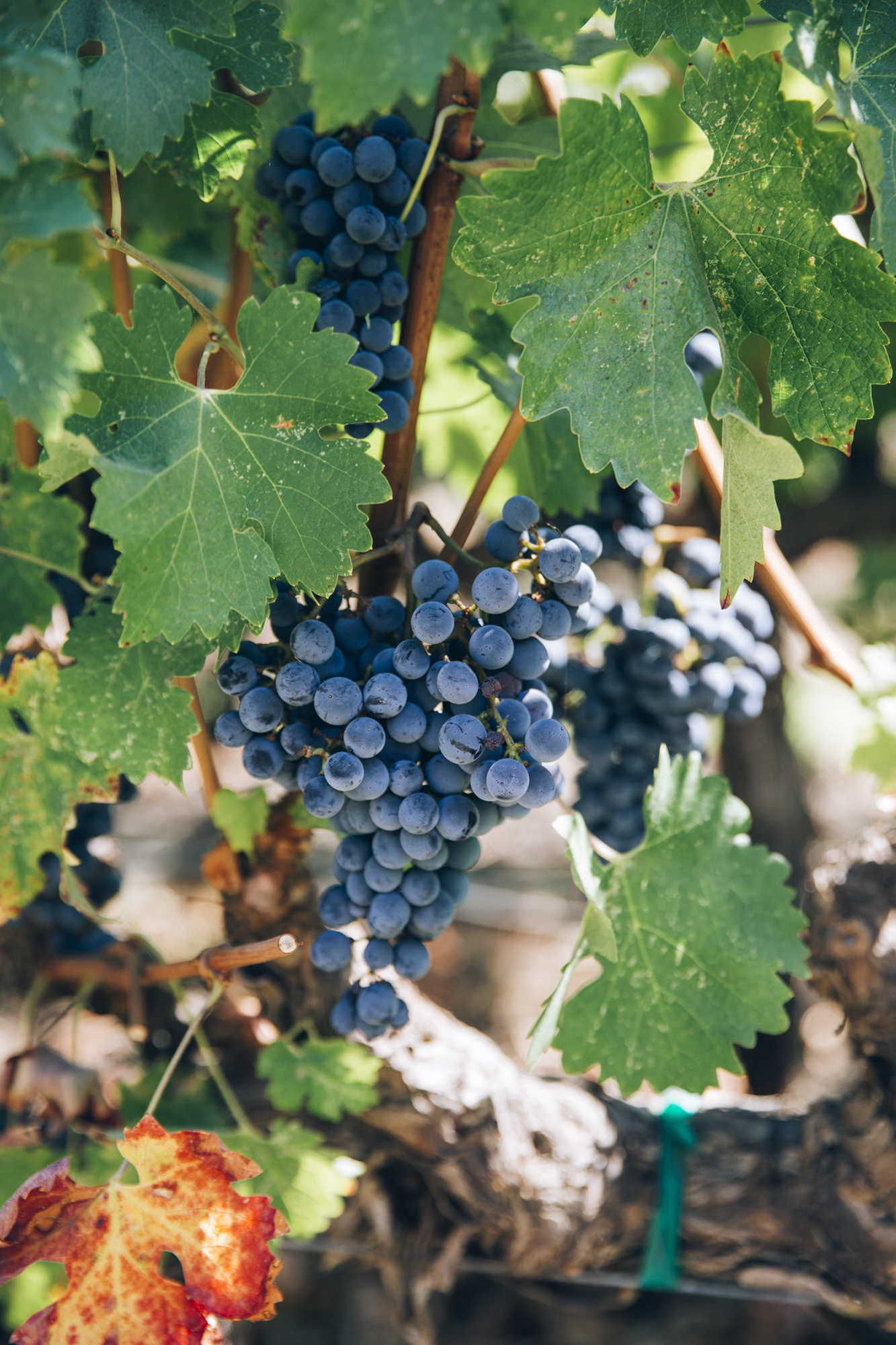 Katie Newburn | San Francisco Bay Area Food and Lifestyle Photographer | Pinot Noir Grapes